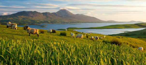 Sheep beneath Croagh Patrick, Mayo, Ireland